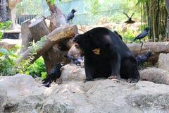 与乌鸦的熊 免版税库存照片