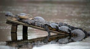 与乌龟晒黑的两条鳄鱼 库存照片