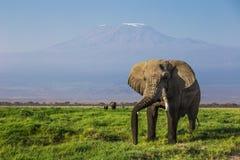 与乞力马扎罗山的大男性非洲大象在背景中在Amboseli国家公园(肯尼亚) 免版税库存图片