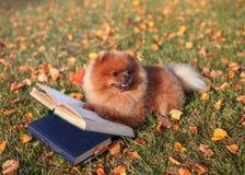 与书的聪明的狗 室外Pomeranian的狗 免版税库存图片