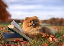 与书的聪明的狗 室外Pomeranian的狗 免版税图库摄影