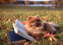 与书的聪明的狗 室外Pomeranian的狗 免版税库存照片