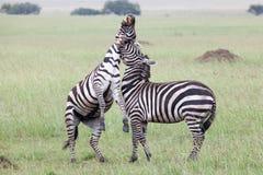 与二匹斑马战斗 免版税图库摄影