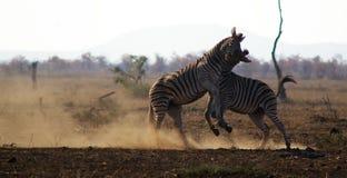 与二匹斑马战斗 免版税库存图片