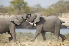 与二战斗的大象 库存照片