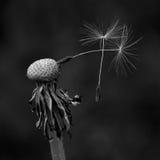 与二颗前颗种子的蒲公英 免版税库存图片