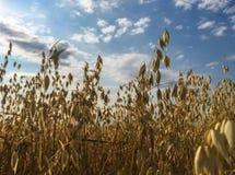 与云彩、绿草和黄色耳朵的明亮的蓝天在前景 库存照片