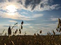 与云彩、绿草和黄色耳朵的明亮的蓝天在前景 免版税库存图片