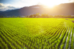 与云彩和山的绿色米领域 免版税库存图片