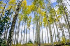 与云彩和蓝天的五颜六色的科罗拉多亚斯本树 免版税图库摄影