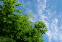 与云彩和蓝天的绿色竹子 库存照片
