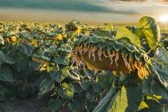与云彩的向日葵领域在日落 免版税库存照片