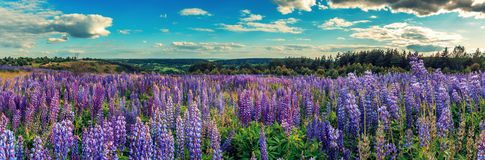 与云彩的完善的天空 在有羽扇豆花的草甸 库存图片