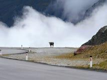 与云彩的母牛 免版税库存照片