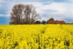 与云彩的黄色油菜领域在天空 免版税库存图片