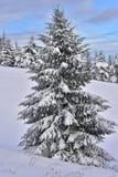 与云杉的美好的多雪的风景 免版税库存图片