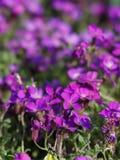 与五个瓣和白色边缘的美丽的紫色大竺葵花 免版税库存图片