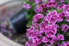 与五个瓣和白色边缘的美丽的紫色大竺葵花 库存图片