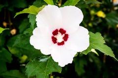 与五个瓣的白色花响铃 库存照片