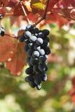 与五颜六色的叶子的黑葡萄 免版税库存图片