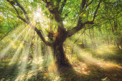 与五颜六色的太阳的神仙的老树树在春天发出光线 库存照片