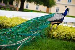 与五颜六色的尾巴的孔雀在镇公园 免版税库存照片