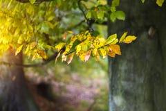 与五颜六色的山毛榉叶子的软的秋天背景 免版税库存照片