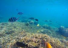 与五颜六色的异乎寻常的鱼的水下的场面 在锋利的珊瑚上的蓝色海水 免版税库存图片