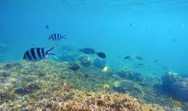与五颜六色的异乎寻常的鱼的水下的场面 在锋利的珊瑚上的蓝色海水 免版税库存照片