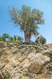 与五颜六色的旧布的大橄榄树 免版税库存图片