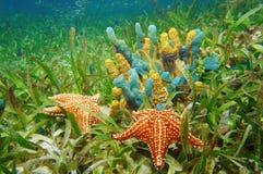 与五颜六色的海绵和海星的水下的生活 免版税库存图片