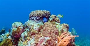 与五颜六色的热带鱼的水下的场面在海礁石附近 免版税库存照片