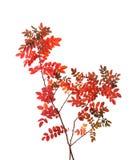 与五颜六色的秋叶的两个分支 免版税库存图片