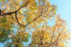 与五颜六色的秋叶的分支反对蓝天 黑蝗虫低角度视图 被定调子的图象 免版税图库摄影