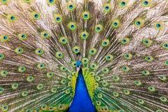 与五颜六色的羽毛的孔雀高视阔步 免版税库存图片