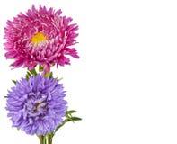 与五颜六色的翠菊的贺卡 图库摄影