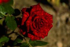 与五颜六色的花的美好的花卉背景…背景 惊人的观点的一朵明亮的红色玫瑰 免版税库存图片