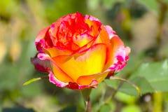 与五颜六色的花的美好的花卉背景…背景 惊人的观点的一朵明亮的红色玫瑰 库存照片