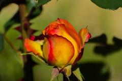 与五颜六色的花的美好的花卉背景…背景 惊人的观点的一朵明亮的红色玫瑰 库存图片