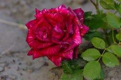 与五颜六色的花的美好的花卉背景…背景 惊人的观点的一朵明亮的红色玫瑰b 库存照片