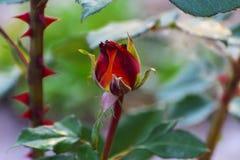 与五颜六色的花的美好的花卉背景…背景 惊人的观点的一朵明亮的红色玫瑰b 免版税库存照片