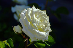 与五颜六色的花的美好的花卉背景…背景 惊人的观点的一朵白色玫瑰 库存图片