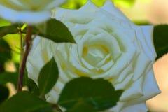 与五颜六色的花的美好的花卉背景…背景 惊人的观点的一朵白色玫瑰 免版税库存图片