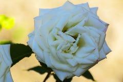 与五颜六色的花的美好的花卉背景…背景 惊人的观点的一朵白色玫瑰 免版税库存照片