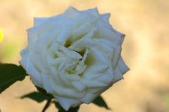 与五颜六色的花的美好的花卉背景…背景 惊人的观点的一朵白色玫瑰 免版税图库摄影