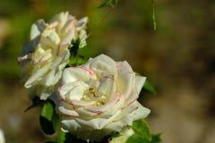 与五颜六色的花的美好的花卉背景…背景 惊人的观点的一朵白色玫瑰 库存照片