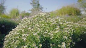 与五颜六色的花的花卉花床 有绿色叶子的蓝色瓣 影视素材