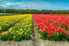 与五颜六色的郁金香领域的不可思议的春天风景在荷兰,欧洲 图库摄影