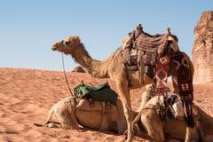 与五颜六色的马鞍的骆驼 免版税库存图片