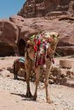 与五颜六色的马鞍的骆驼 库存图片